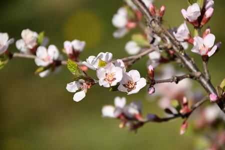 桜桃(ユスラウメ)