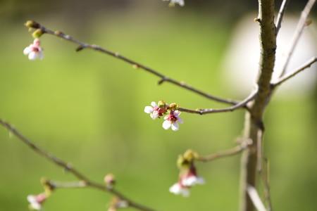 奥丁字桜(オクチョウジザクラ)?