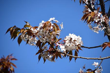 彩りの丘の桜