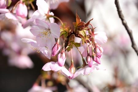 阿亀像脇の桜