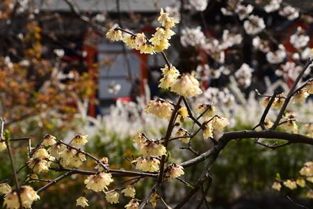 桜を背景に咲く素心蝋梅