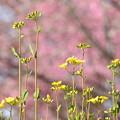 桜の園の菜の花