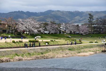 染井吉野咲く賀茂川