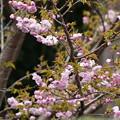 大龍桜(ダイリュウザクラ)