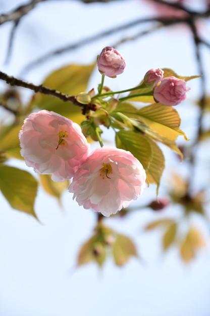 咲き始めた一葉(イチヨウ)
