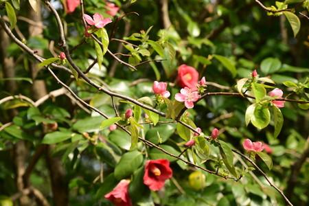 花梨と薮椿