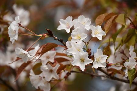 桜松(サクラマツ)