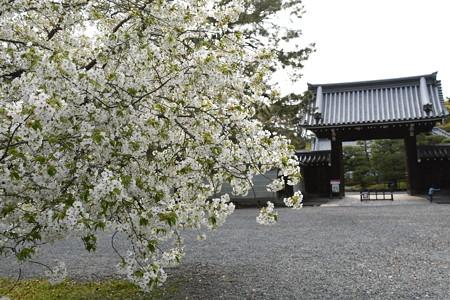 閑院の宮邸前の大島桜