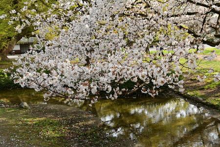 桜の出水の小川