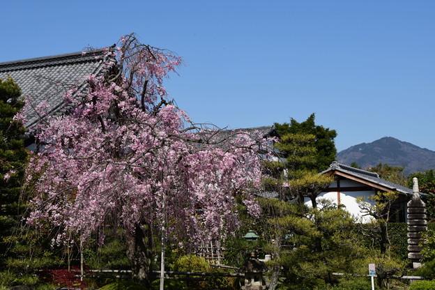 八重紅枝垂れと比叡山