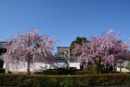 妙顕寺門脇の八重紅枝垂れ