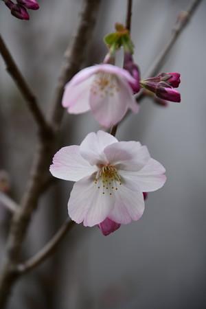 宗像神社の桜