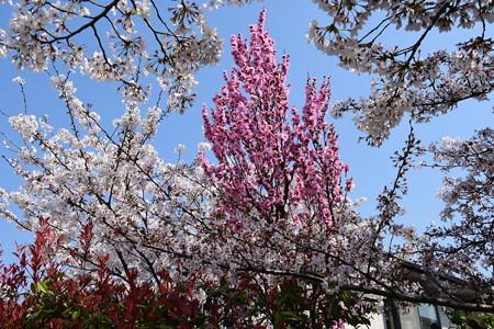 桜に囲まれた桃