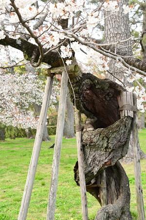御苑の名物桜