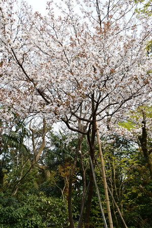 元紫宸殿左近の桜