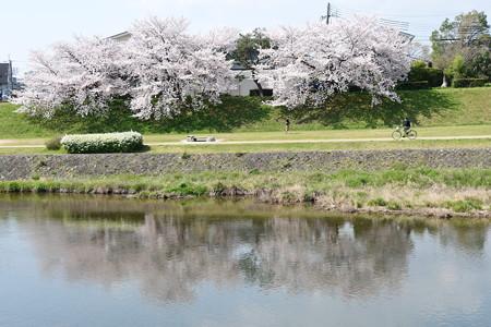 桜を映す賀茂川