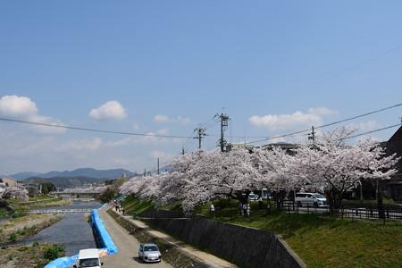 高野川の桜並木と「法」