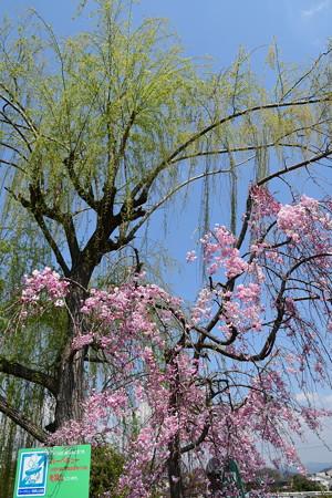 出町の柳と八重紅枝垂れ