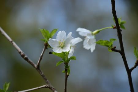 緑桜(ミドリザクラ)