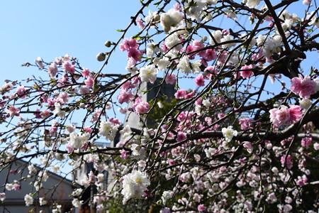 源平咲きの花桃