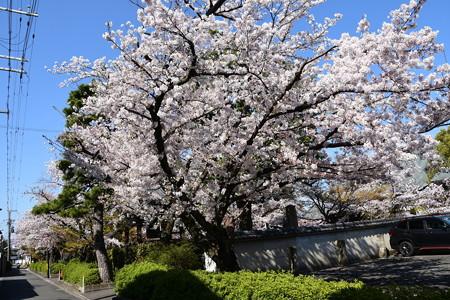 妙顕寺の桜並木