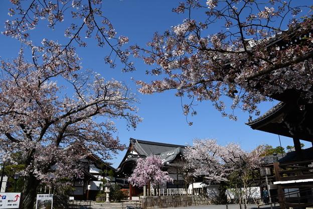 桜に包まれる妙顕寺