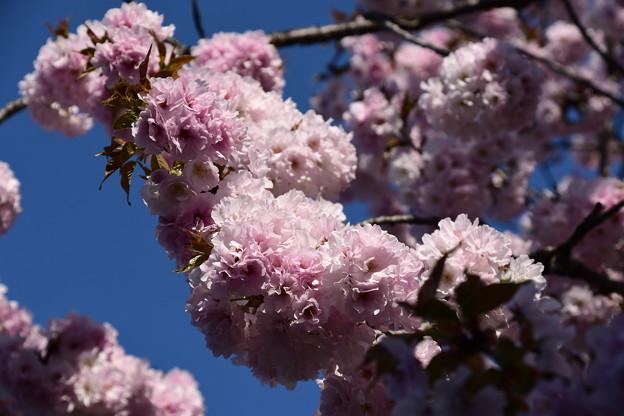 門脇の八重桜