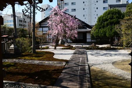 八重紅枝垂れ咲く大應寺