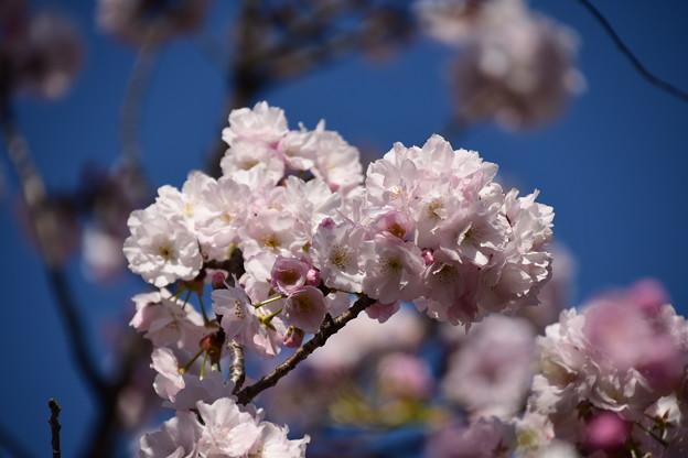 門脇の八重桜 その2