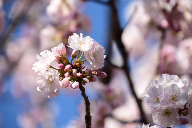門脇の八重桜 その3
