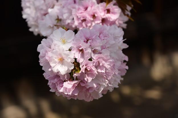 妙覚寺山門脇の八重桜