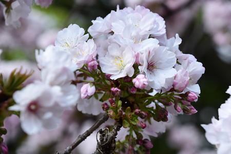 満開の八重桜 その2