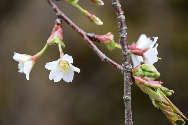 北野桜(キタノザクラ)