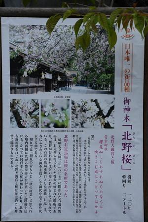 昔は桜名所~!