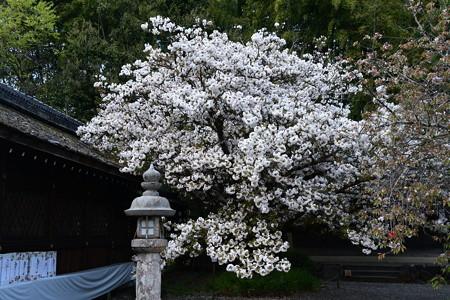 大内山(オオウチヤマ)