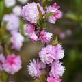Photos: 庭桜(ニワザクラ)