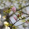 Photos: 手毬(テマリ)