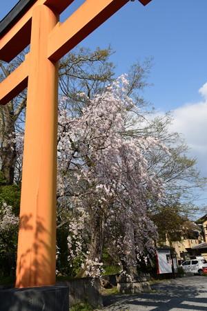 鳥居脇の八重紅枝垂れ(ヤエベニシダレ)