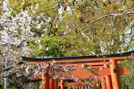彼岸桜と御衣黄(右)