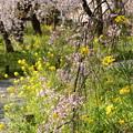 Photos: 桜園の春