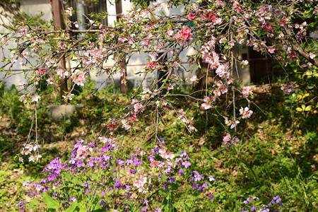 花桃と紫花菜