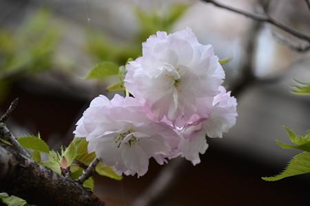 松月(ショウゲツ)