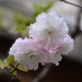 Photos: 松月(ショウゲツ)