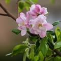 Photos: 林檎(リンゴ)