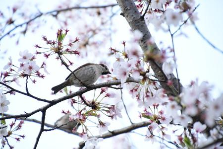 雀の花荒し