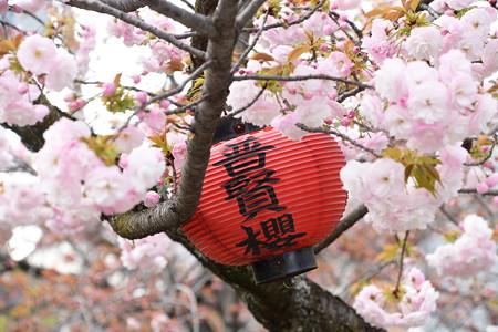 千本ゑんま堂の桜風景