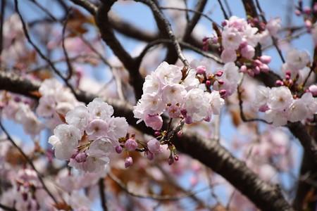 慈福寺の桜