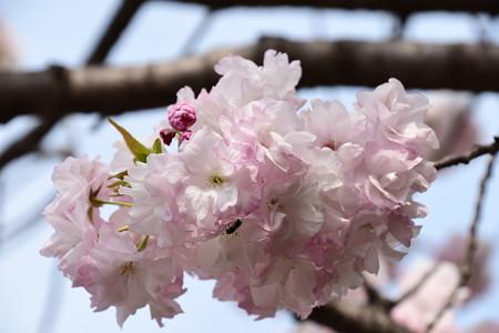 宮内庁事務所の八重桜 3