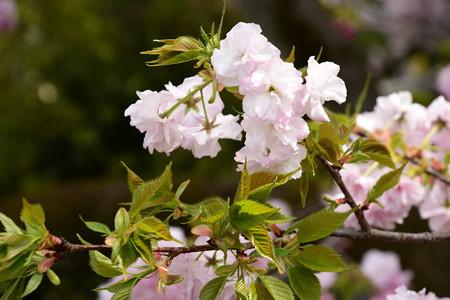 宮内庁事務所の八重桜 4