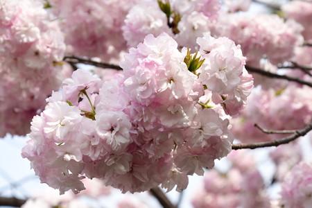 宮内庁事務所の八重桜 2
